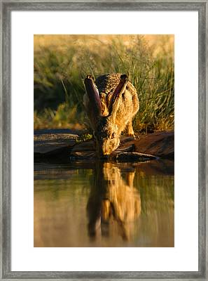 Scrub Hare Framed Print by Hein Welman