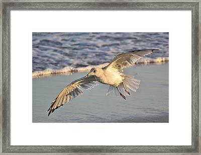 Sea Gull At Twilight Framed Print by Paulette Thomas