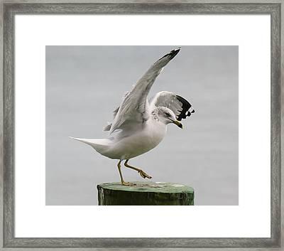 Sea Gull Dance Framed Print by Paulette Thomas