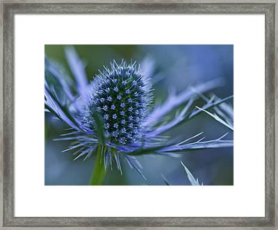 Sea Holly Framed Print by Laszlo Podor Photography