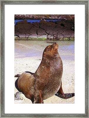 Sea Lion  On Genovesa Island Framed Print by Thomas R Fletcher