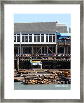 Sea Lions At Pier 39 San Francisco California . 7d14274 Framed Print by Wingsdomain Art and Photography