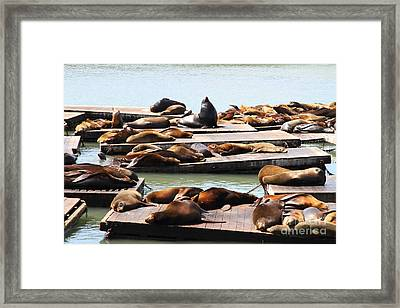 Sea Lions At Pier 39 San Francisco California . 7d14316 Framed Print by Wingsdomain Art and Photography