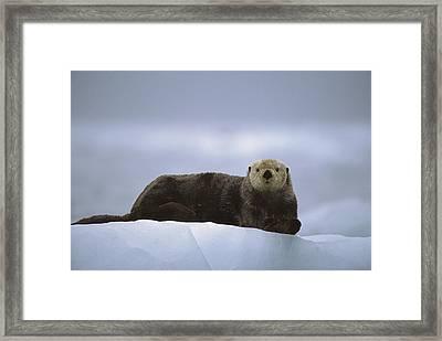 Sea Otter Enhydra Lutris Male Hauled Framed Print by Suzi Eszterhas