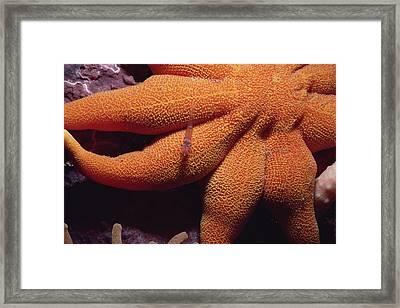 Sea Star With Red Shrimp Baffin Island Framed Print by Flip Nicklin