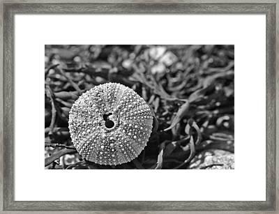 Sea Urchin On Seaweed Framed Print by David Rucker