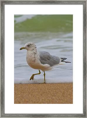 Seagull Stomp Framed Print by Betsy Knapp