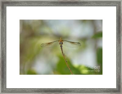 Seaside Dragonlet Framed Print by Lynda Dawson-Youngclaus
