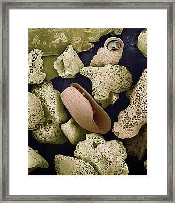 Sem Close-up View Of Foraminiferans Framed Print by Albert Lleal