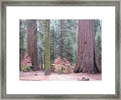 Sequoia  Trees  Framed Print by Naxart Studio
