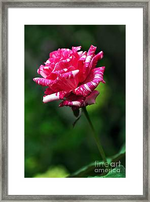 Sexy Rexy Rose Framed Print by Kaye Menner