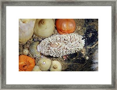 Shaggy Mouse Nudibranch Framed Print by Alexander Semenov