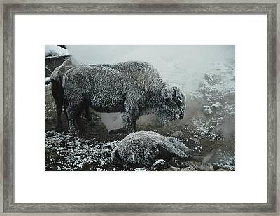 Shaggy With Rime, An American Bison Framed Print by Michael S. Quinton
