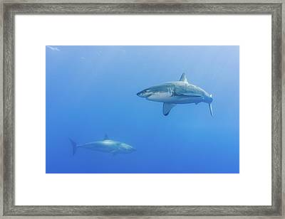 Shark Infested Waters Framed Print by Steven Trainoff Ph.D.