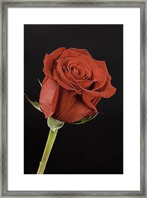 Sharp Red Rose On Black Framed Print by M K  Miller