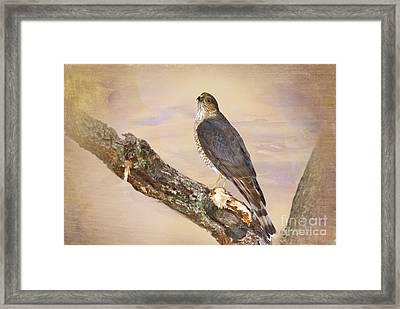 Sharp-shinned Hawk Framed Print by Betty LaRue