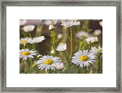 Shasta Daisy (leucanthemum 'filigran') Framed Print by Maria Mosolova