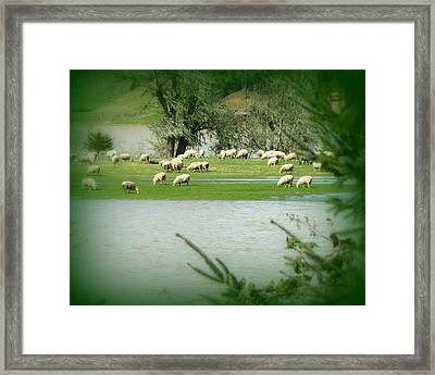 Sheep Grazing Amidst Flood Framed Print by Cindy Wright