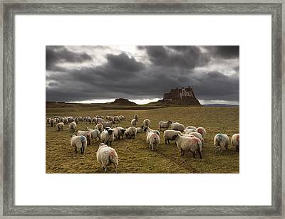 Sheep Grazing By Lindisfarne Castle Framed Print by John Short