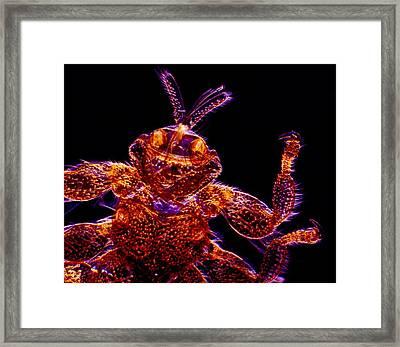 Sheep Ked, Light Micrograph Framed Print by Dr Keith Wheeler