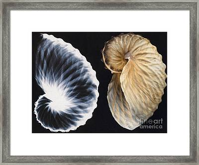 Shell X-ray Framed Print by Photo Researchers