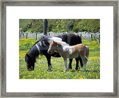 Shetland Ponies Framed Print by George Leask