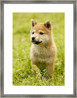 Shiba-ken Puppy Framed Print by Datacraft Co Ltd