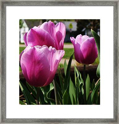 Shining Tulips Framed Print by Bruce Bley