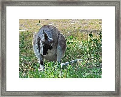 Shy Wallaby Framed Print by Joanne Kocwin
