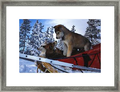 Siberian Husky Puppies Play On A Snow Framed Print by Nick Norman