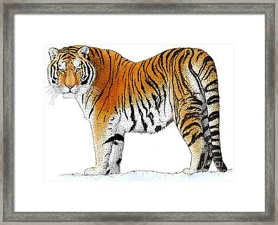 Siberian Tiger Framed Print by Roger Hall and Photo Researchers
