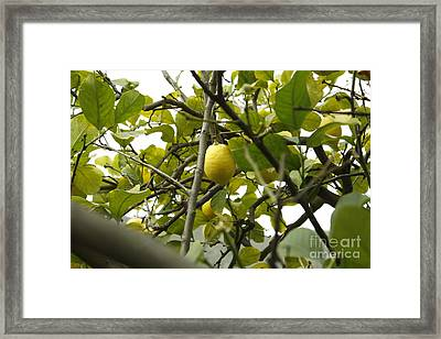 Sicilian Lemon Tree Framed Print by Donato Iannuzzi