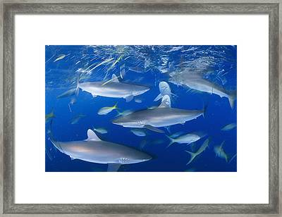 Silky Sharks And Yellowtail Snappers Framed Print by David Doubilet