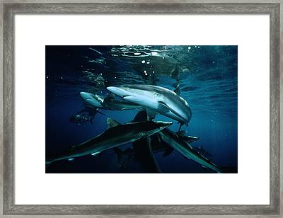 Silky Sharks Gather At The Waters Framed Print by David Doubilet
