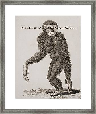 Simia Lar, Great Gibbon. Engraved By Framed Print by Ken Welsh