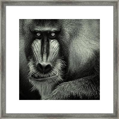 Singapore Zoo, Mandrill Framed Print by By Toonman