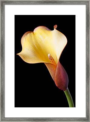 Single Calla Liliy Framed Print by Garry Gay