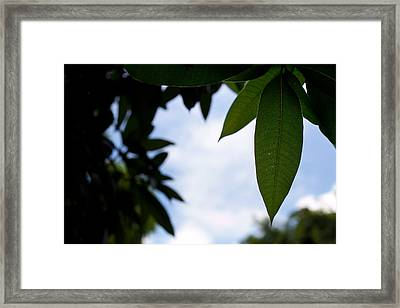Single Mango Leaf Silhouetted Against The Sky Framed Print by Anya Brewley schultheiss