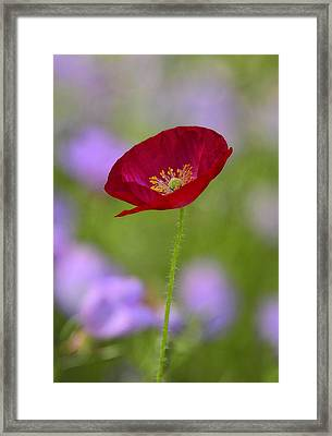 Single Red Poppy  Framed Print by Saija  Lehtonen