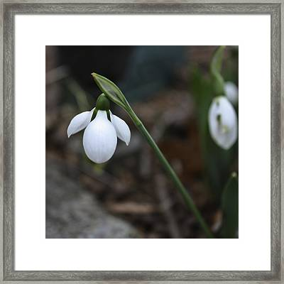 Single Snowdrop Squared 1 Framed Print by Teresa Mucha