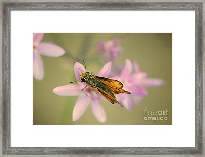 Skipper Butterfly Framed Print by Brooke Roby