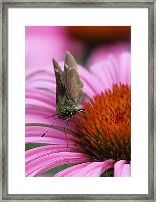 Skipper Butterfly Framed Print by Juergen Roth