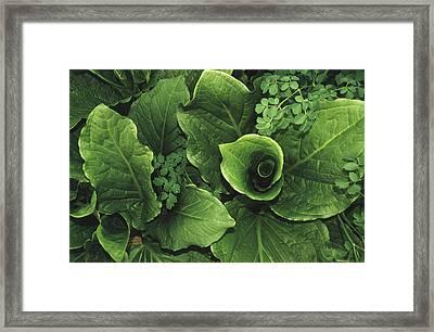 Skunk Cabbage In A Bog Framed Print by Raymond Gehman