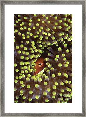 Skunk Clownfish Hiding In Anemone Framed Print by Beverly Factor