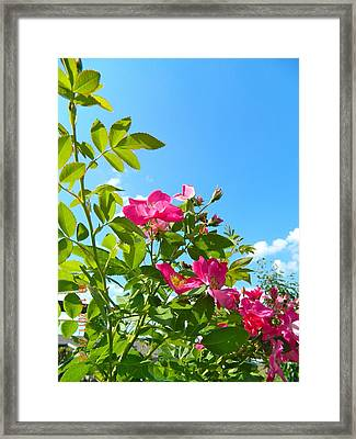 Skyward Roses Framed Print by Randy Rosenberger
