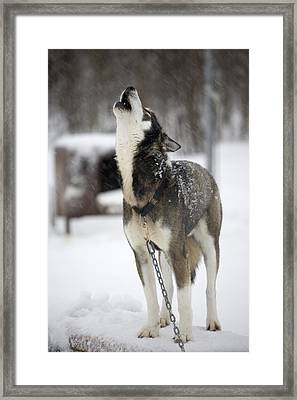 Sled Dog Howling Framed Print by Pete Ryan