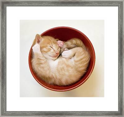 Sleeping Kittens In Bowl Framed Print by Sanna Pudas