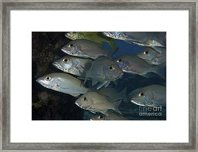 Small School Of Mahogany Schnapper Framed Print by Terry Moore