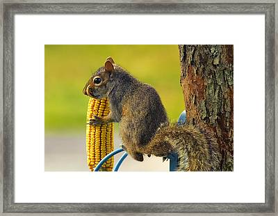 Snaggletooth Squirrel With Corn Framed Print by Bill Tiepelman