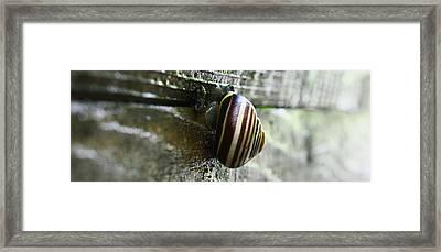 Snail Framed Print by Photography Art